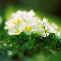 primroses. by simoendli