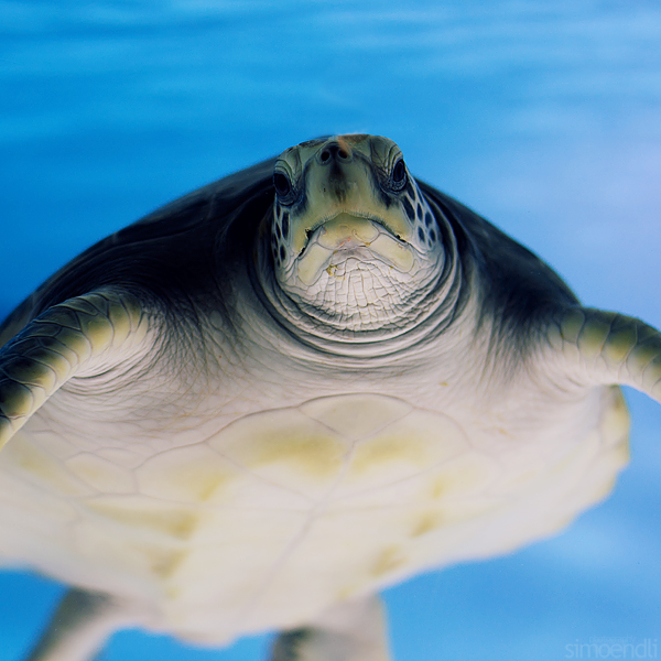 turtle. by simoendli