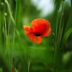 poppy on grassland.
