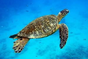 Hawaiian Turtle by manaphoto