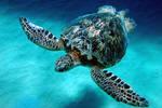 Majestic Turtle