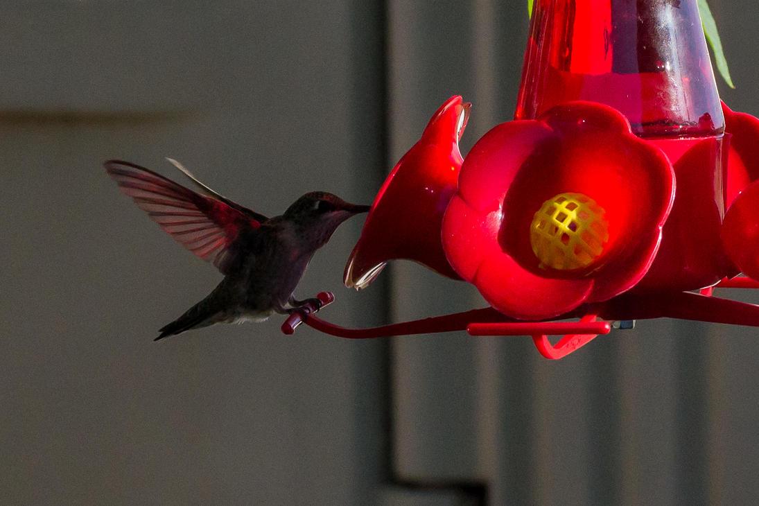 Red Lit Hummingbird by taliesin86001
