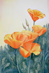 California Wild Poppies
