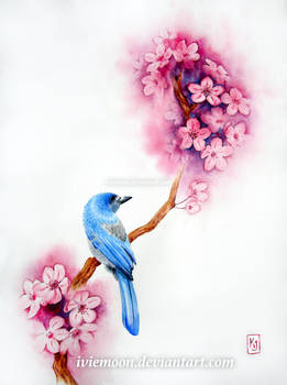 Scrub Jay and Cherry Blossoms