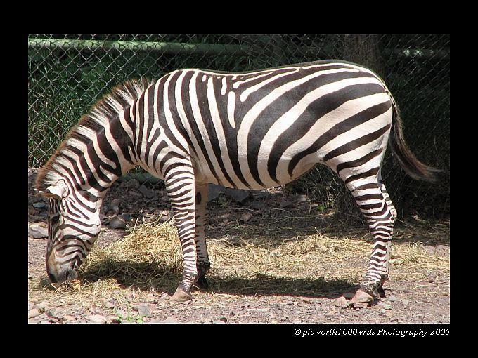 Hello, Mr. Zebra... by picworth1000wrds