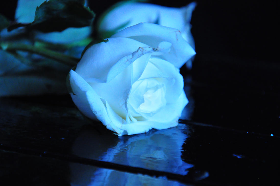 Blue And White Rose Wallpaper White Blue Rose Iii Stock by