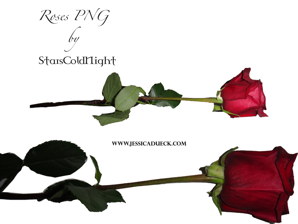 Rose Png By Starscoldnight By Starscoldnight On Deviantart