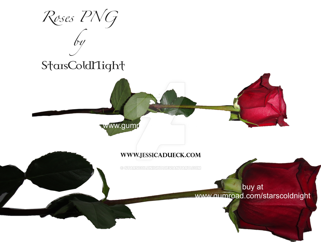 Rose Png By Starscoldnight