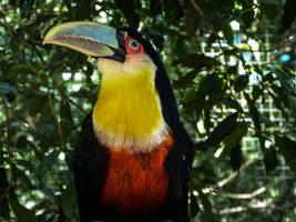 Bird Stock Tukan 1 by StarsColdNight