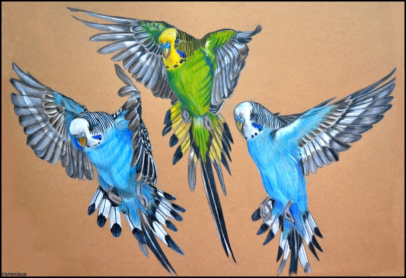 how to cut a budgies wings