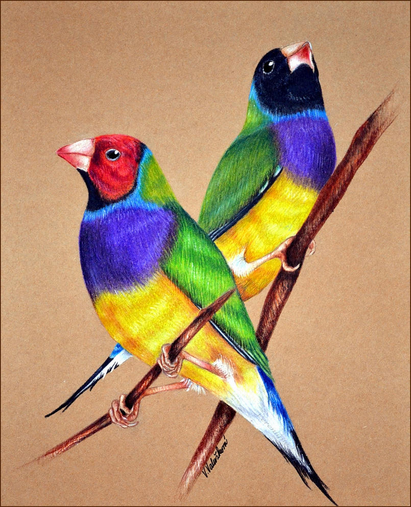 Gouldian finches by Verenique