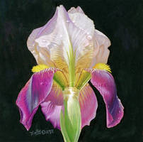 Iris Flower by hollydurr