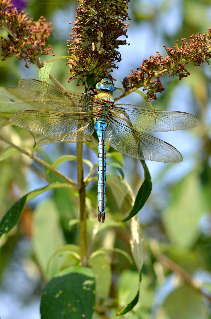 Big blue dragonfly by Lydiie