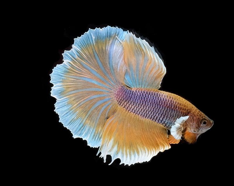 WTB: Lavender Gas / Yellow Salamander Betta - Betta Fish and Betta
