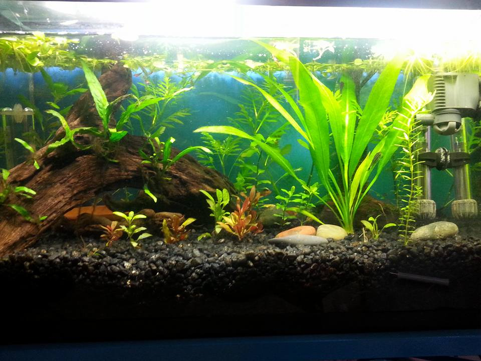 Planted tank show and tell page 246 betta fish and for Fish tank care