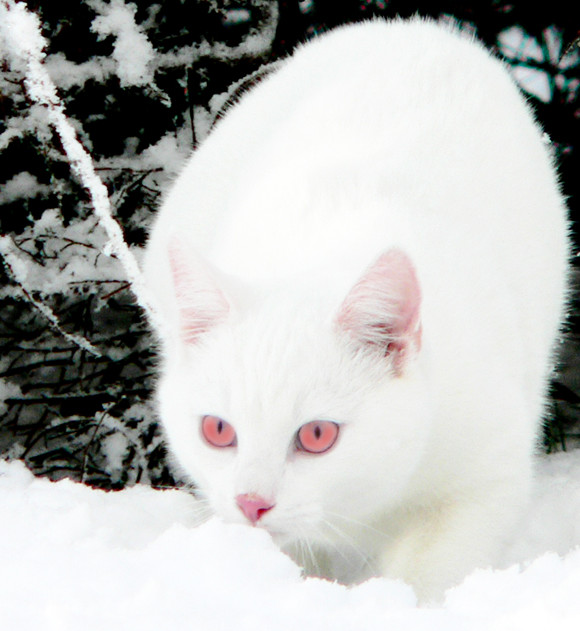 Played White Cats With Red Eyes