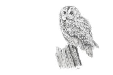 Tawny Owl by CarlSyres