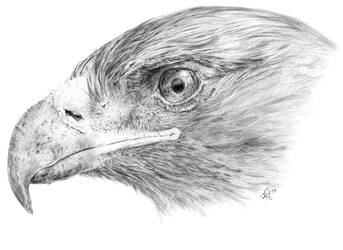 Golden Eagle by CarlSyres