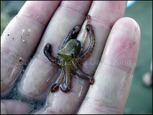 Baby Octopus by superchickenn123