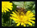 dandelion and bee by nicolehg