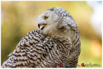 Snowy Owl by LostImages