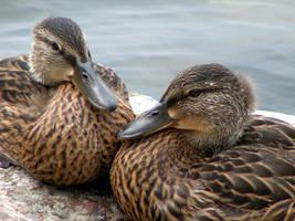 Ducks by somechick