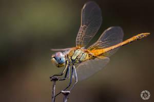 Dragonfly V by ilkerdemirbolat