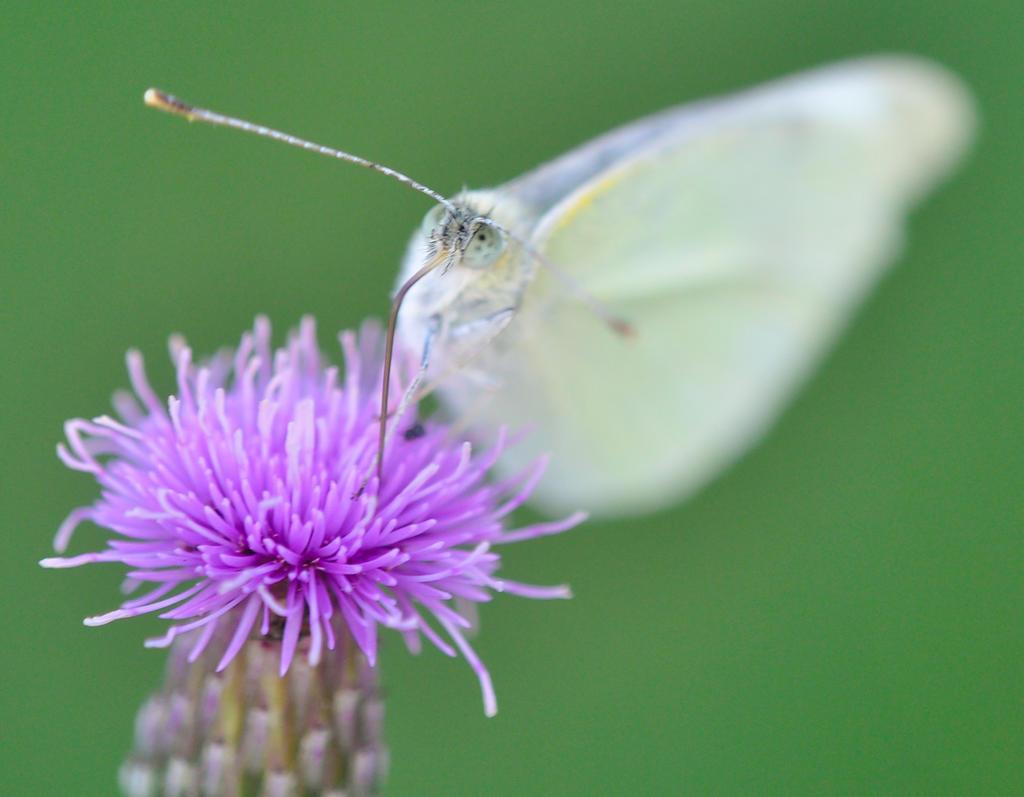 Schmetterling I by manuelabuhr