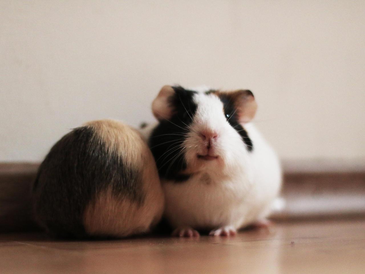 Smiling guinea pig by marzannasierpniowa