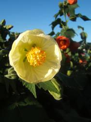.flowering maple.