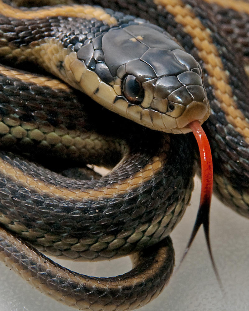 Baby Garter Snake By Jaggedtech On Deviantart