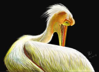 Pelican by sarararon