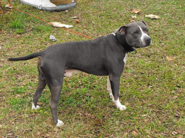 Gray pitbull dogs