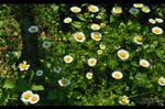 daisies by emrepullukcu