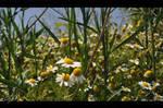 daisy collection by emrepullukcu