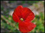 single poppy by emrepullukcu