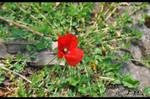 poppy by emrepullukcu