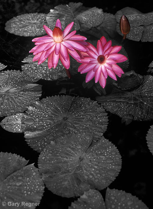 Lilies by gregner