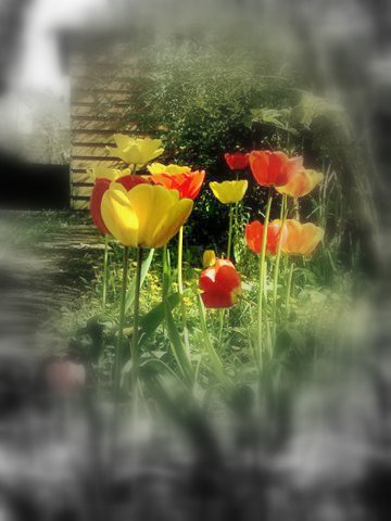 The Day The Tulips Opened by blackpixifotos