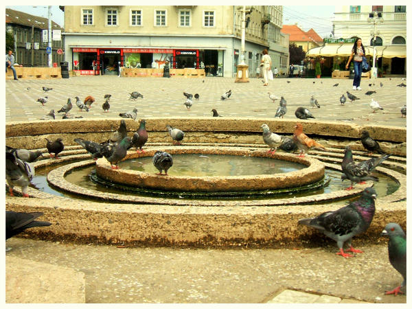 Площада на свободата - Page 6 Pigeons_in_Timisoara_by_The_Coke_Bear