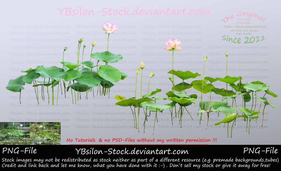 Pink Lotus II by YBsilon-Stock by YBsilon-Stock