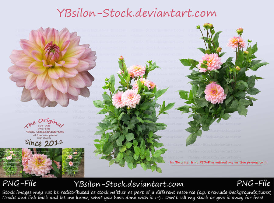Pink Dahlia by YBsilon-Stock by YBsilon-Stock