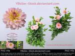 Pink Dahlia by YBsilon-Stock