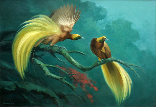 Paradise bird from West Papua - Indonesia