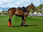Polo Horse Stock
