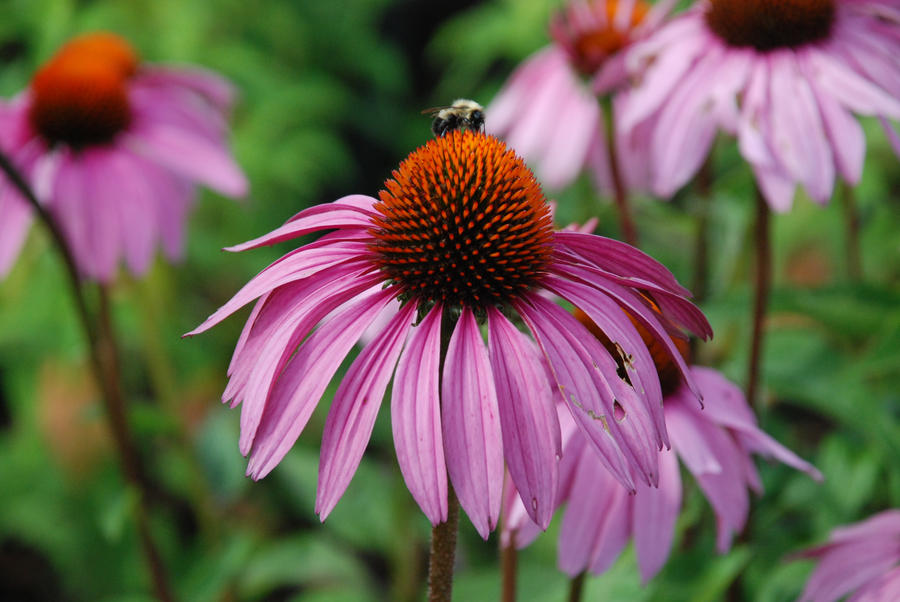 Purple Coneflower Wallpapers: Bee On Purple Coneflower By BlueH2O On DeviantArt