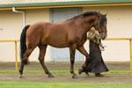 Lusitano stallion stock