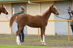 Partbred Arabian foal stock