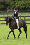 Riding Pony stallion stock