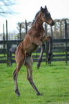 Thoroughbred foal stock